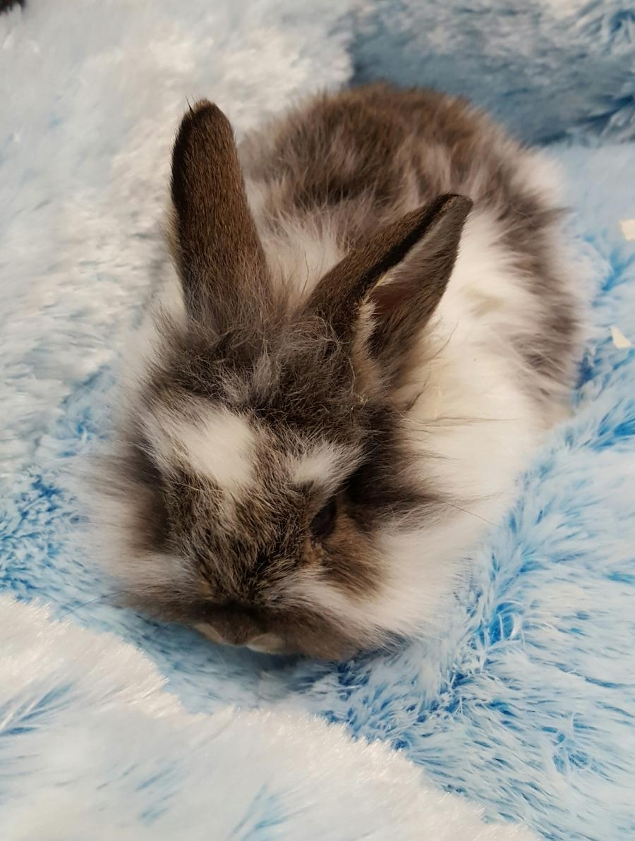 <small><del>Lion head Rabbit (Free to a good home)</del></small><br />Happy Lion head Rabbit (Free to a good home)