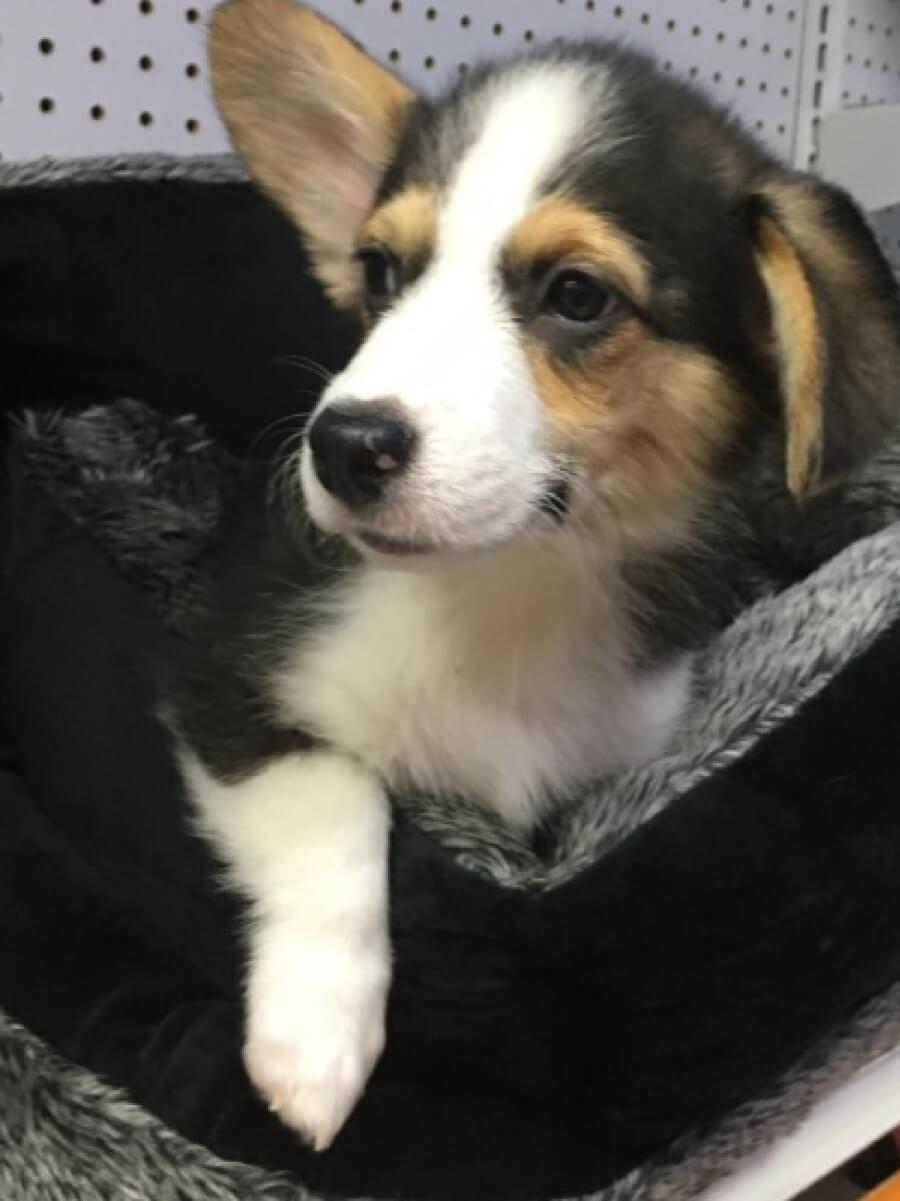 <small><del>Corgi</del></small><br />Happy Corgi
