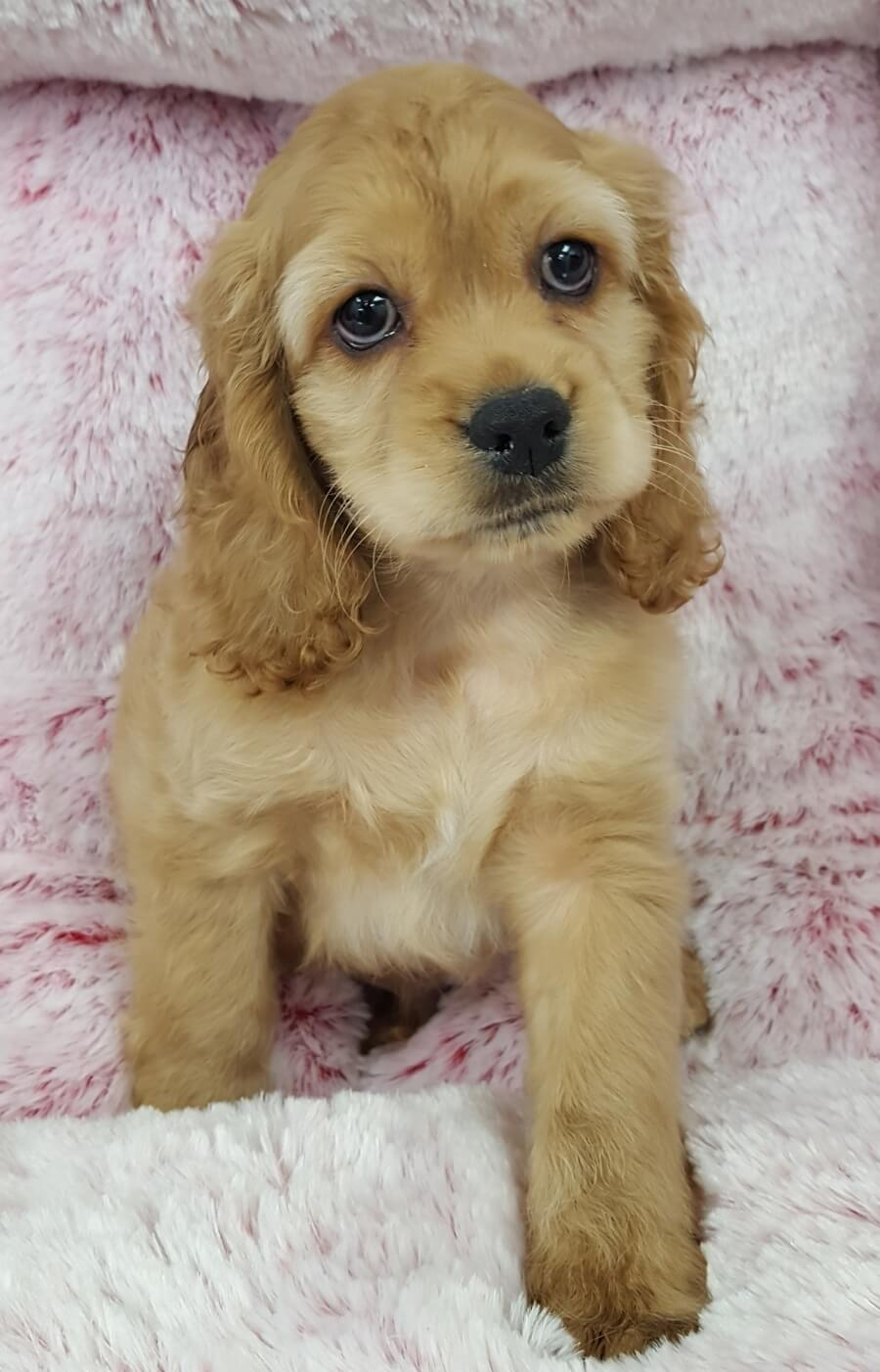 <small><del>Cocker Spaniel</del></small><br />Happy Cocker Spaniel