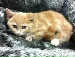 Domestic Kittens( Now $50.00)