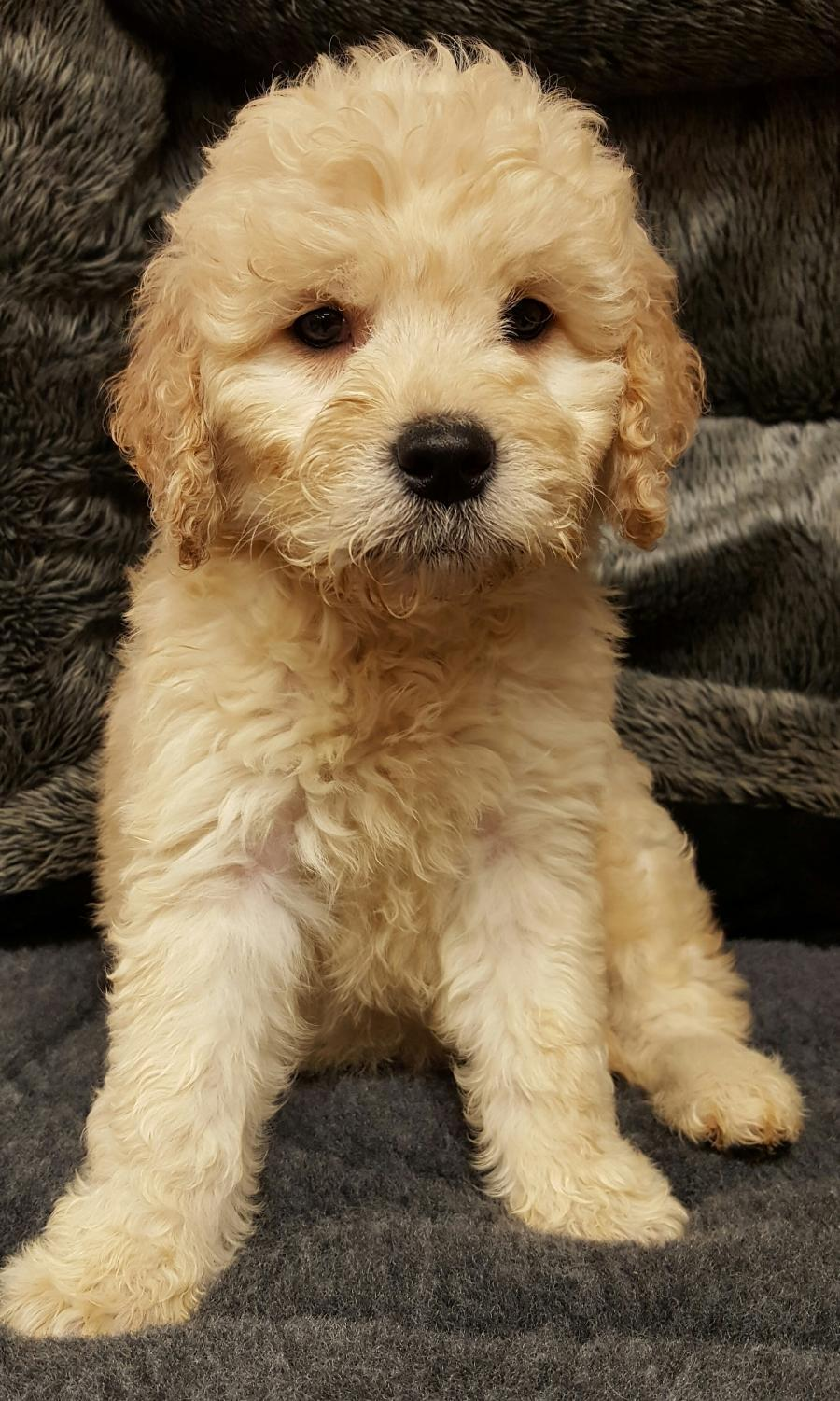 <small><del>Goldendoodle</del></small><br />Happy Goldendoodle