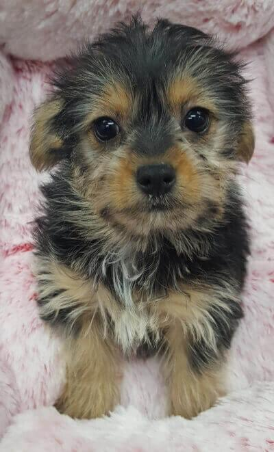Yorkshire Terrier and Chihuahua mix