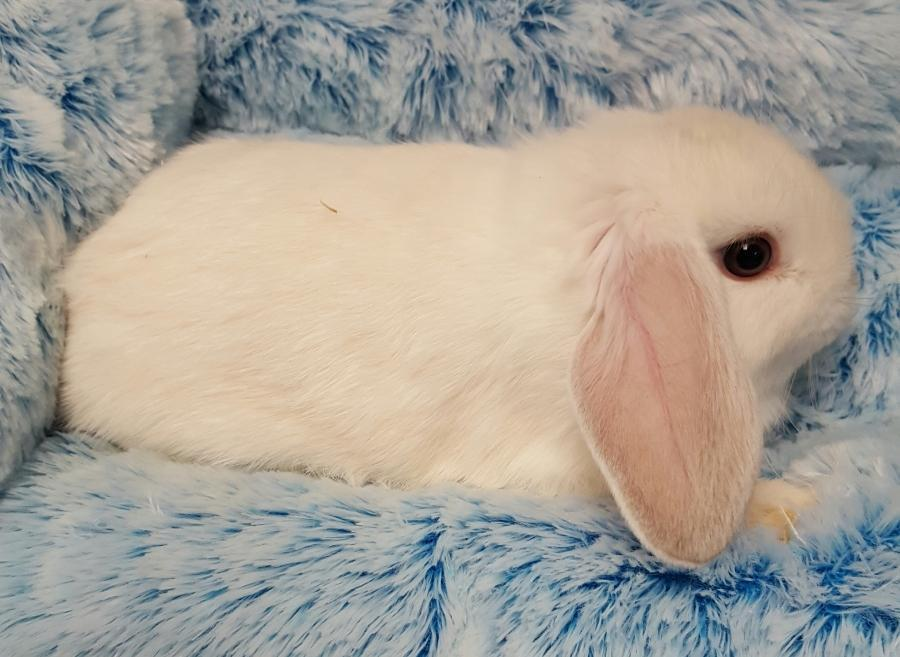 <small><del>Mini Lop Rabbit</del></small><br />Happy Mini Lop Rabbit