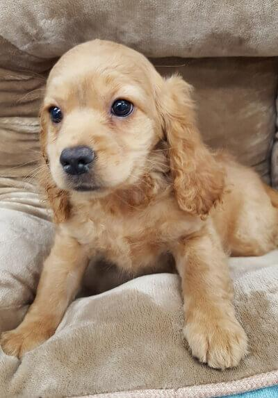 Cocker Spaniel (Now $1299.00)