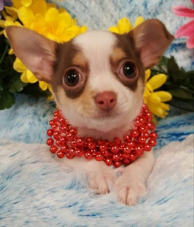Chihuahua(Now $999.00)