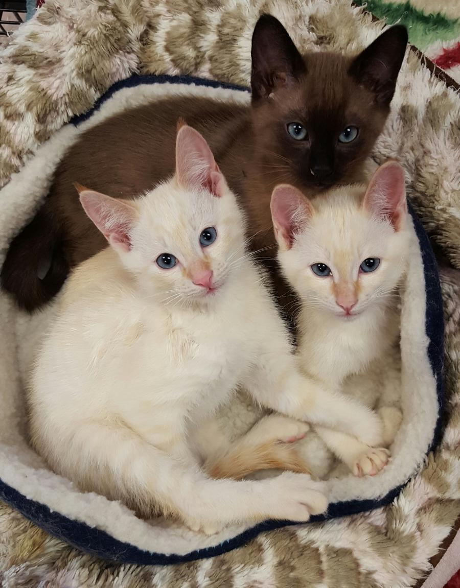 <small><del>Siamese Kittens</del></small><br />Happy Siamese Kittens