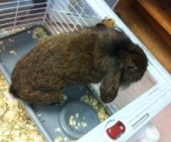 Free to a Good Home Mini Lop Bunny