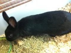 Dwarf BunnyFree to a good home